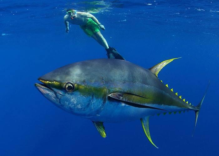 huge yellowfin tuna