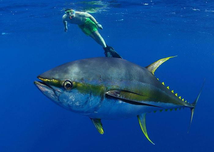 huge yellowfin tuna